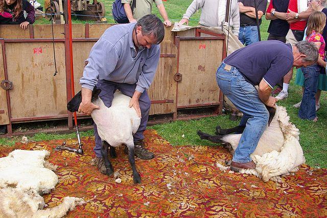 640px-sheep_shearing