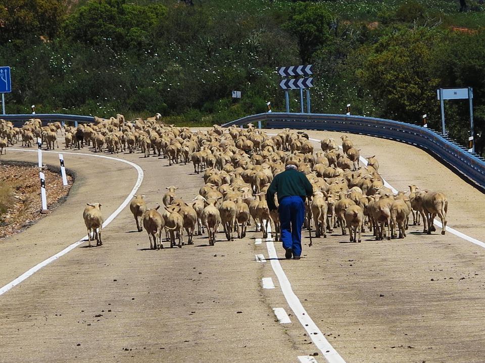 sheep-285344_960_720